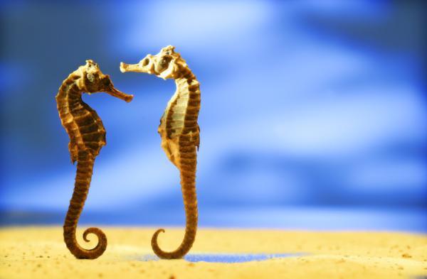 Animales monógamos: qué son y lista con ejemplos - Caballito de mar