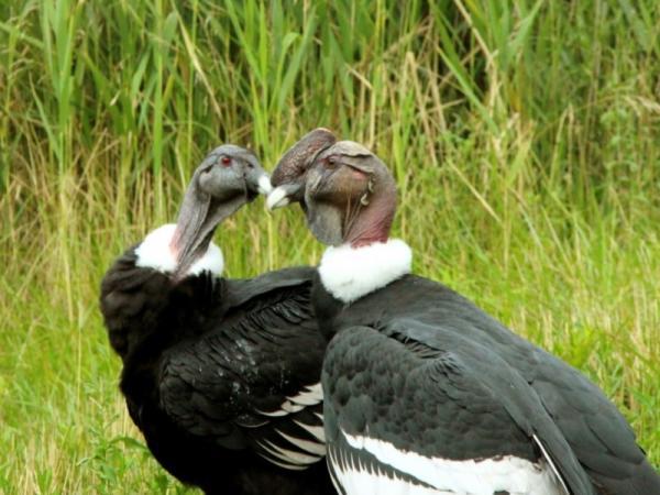 Animales monógamos: qué son y lista con ejemplos - Cóndor andino