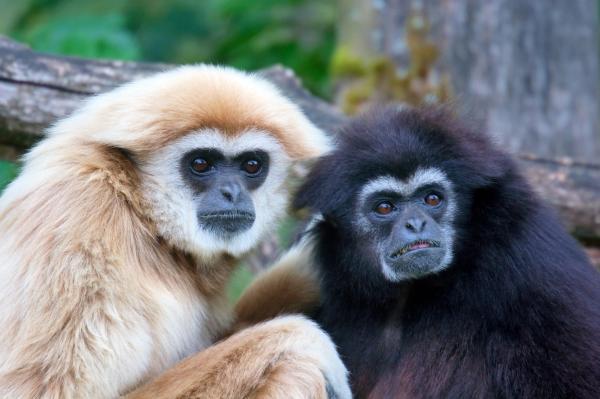 Animales monógamos: qué son y lista con ejemplos - Gibón