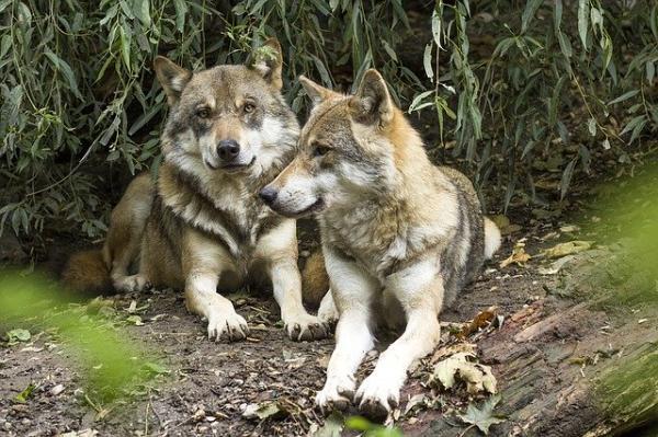 Animales monógamos: qué son y lista con ejemplos - Lobo
