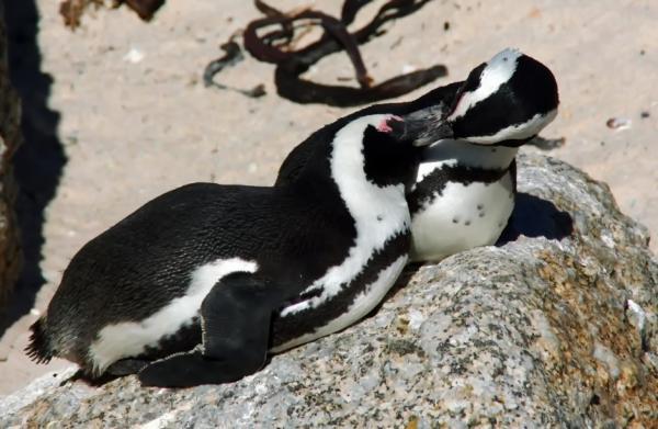 Animales monógamos: qué son y lista con ejemplos - Pingüinos, otros animales monógamos de por vida
