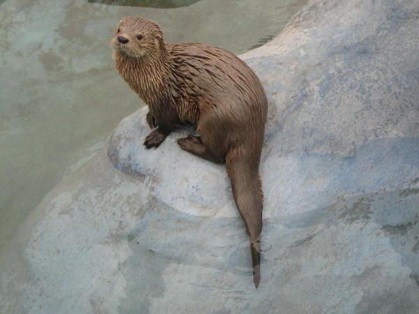 Animales en peligro de extinción en Chile - Gato de mar (Lontra felina)