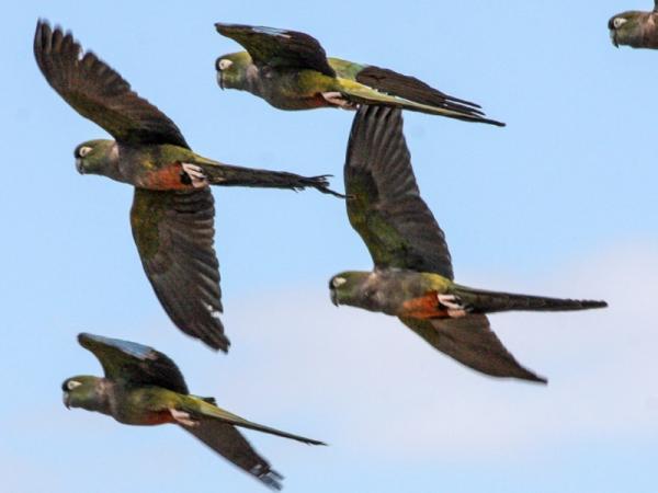 Animales en peligro de extinción en Chile - Loro tricahue (Cyanoliseus patagonus bloxami)