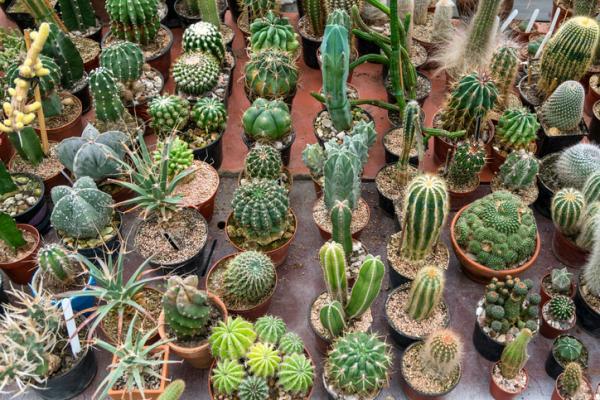 Cuidados de un cactus - Características de los cactus