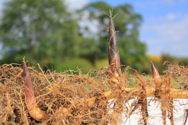 Rizomas: definición y ejemplos de plantas - Qué es un rizoma: definición
