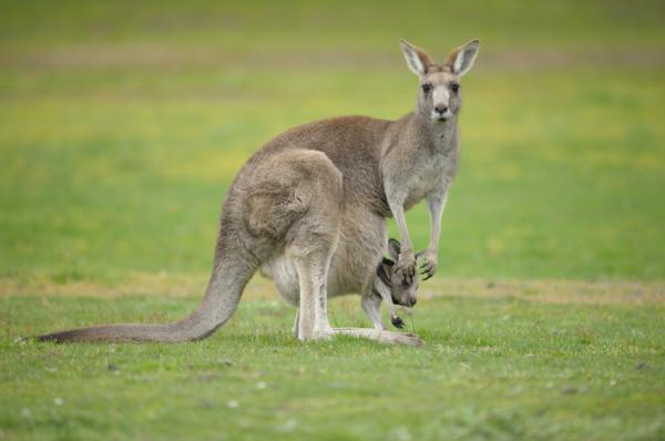Qué son los animales marsupiales y ejemplos
