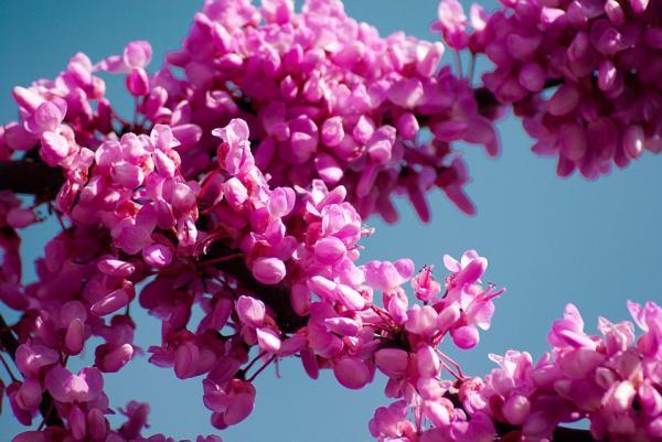 20 árboles ornamentales - Árbol del amor, uno de los árboles ornamentales con flores rosas