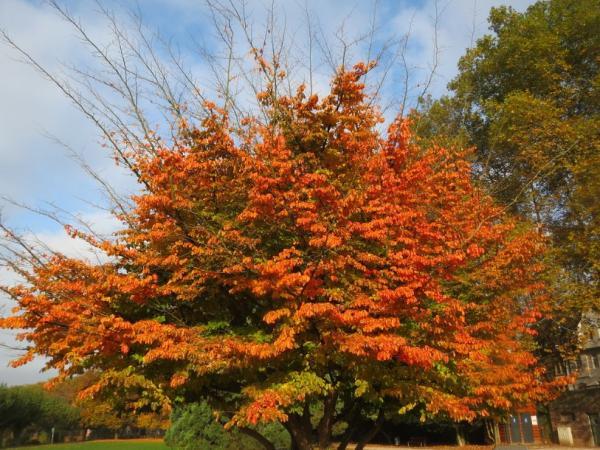 20 árboles ornamentales - Árbol del Hierro