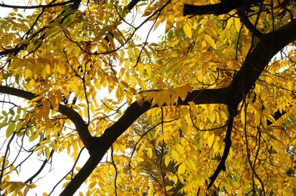 20 árboles ornamentales - Juglans, uno de los árboles ornamentales asiáticos