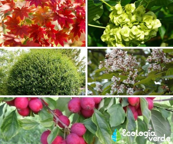 20 árboles ornamentales - Más nombres de árboles ornamentales con fotos
