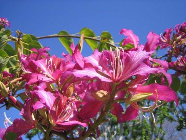 20 árboles ornamentales - Pata de vaca