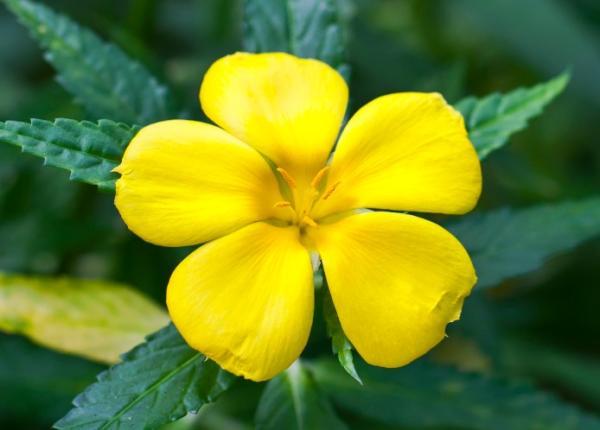 +20 plantas con flores amarillas - Aliso amarillo