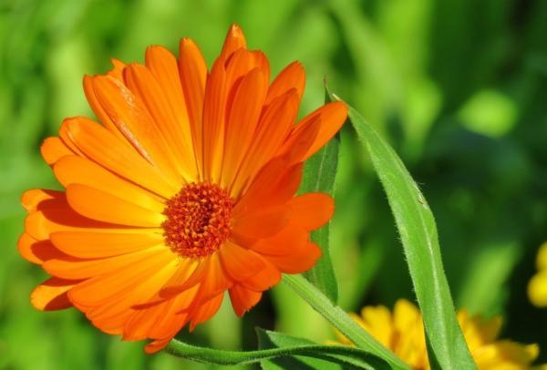 22 flores de primavera - Caléndula