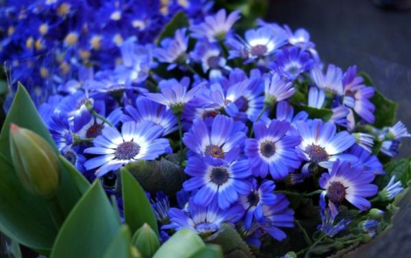 22 flores de primavera - Cineraria