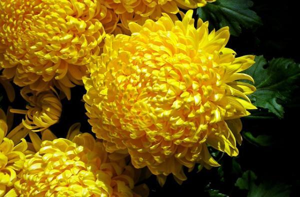 +20 plantas con flores amarillas - Crisantemo amarillo