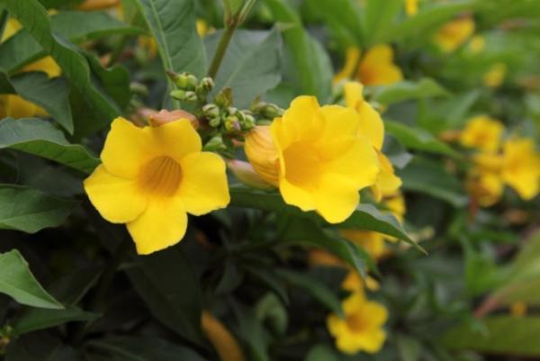 +20 plantas con flores amarillas - Flor canaria o allamanda