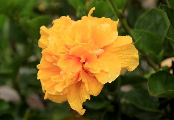 +20 plantas con flores amarillas - Flores amarillas raras: la rosa china doble