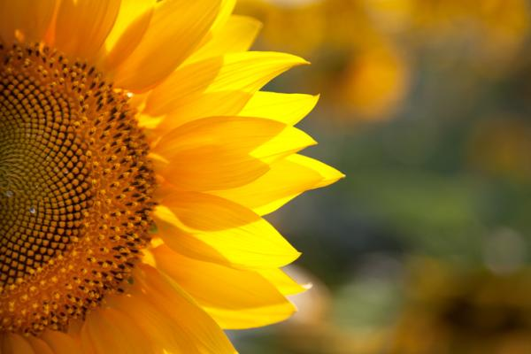 +20 plantas con flores amarillas - Girasol, la flor amarilla más conocida