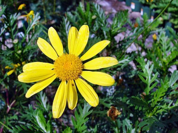 +20 plantas con flores amarillas - Margarita de flores amarillas