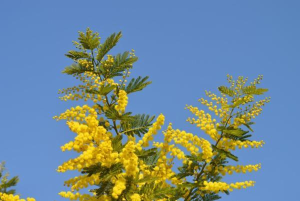 +20 plantas con flores amarillas - Mimosa amarilla