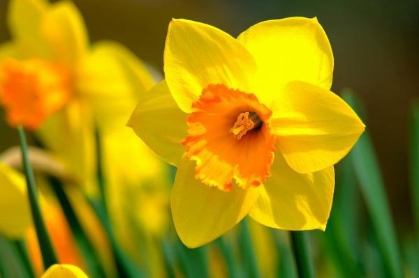+20 plantas con flores amarillas - Narcisos amarillos