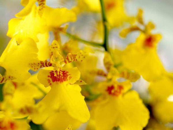 +20 plantas con flores amarillas - Orquídeas amarillas