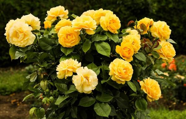 +20 plantas con flores amarillas - Rosas amarillas