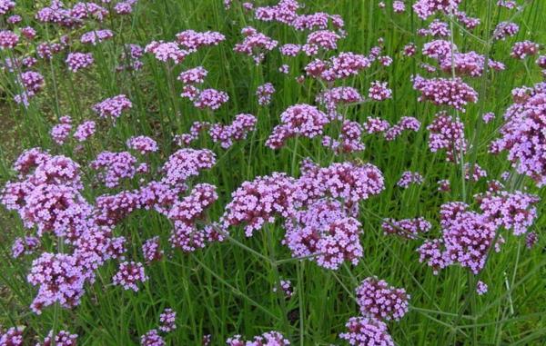 22 flores de primavera - Verbena