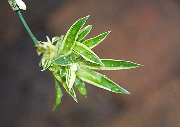 Lazo de amor o cinta: cuidados - Reproducción de las plantas cintas