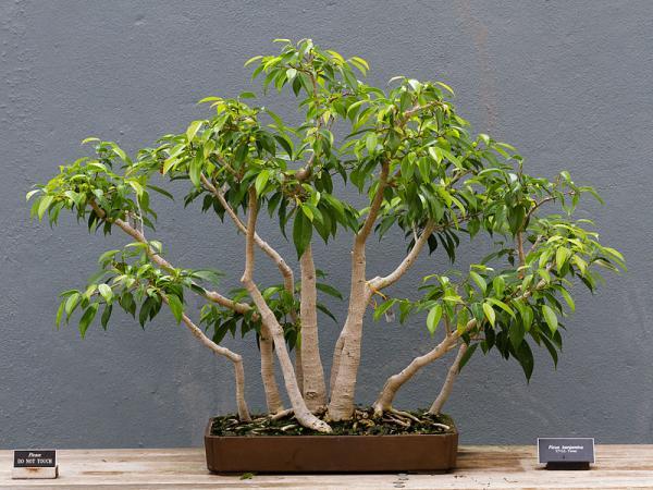 Bonsai Ficus Benjamina Cuidados