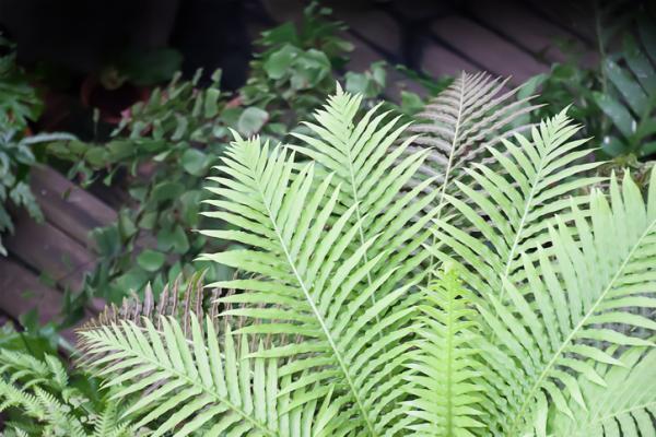 Tipos de helechos - Blechnum gibbum o yerba de papagayo