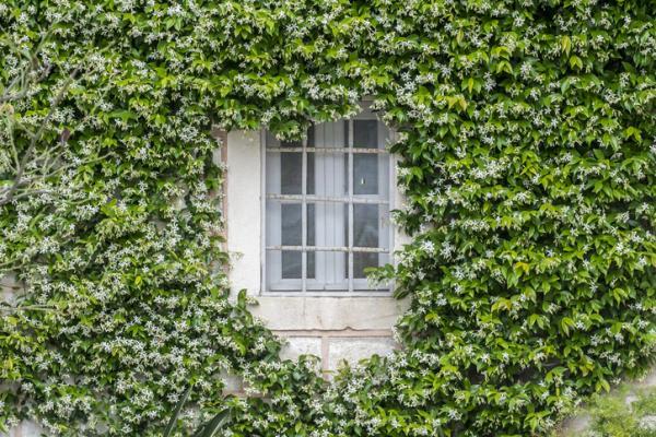 Cómo cuidar tu planta de jazmín en tu jardín - Características de la planta jazmín