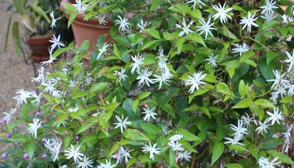 Cómo cuidar tu planta de jazmín en tu jardín - Lo que no debes hacer para cuidar un jazmín