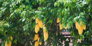 Germinar y plantar un mango: cómo y cuándo hacerlo