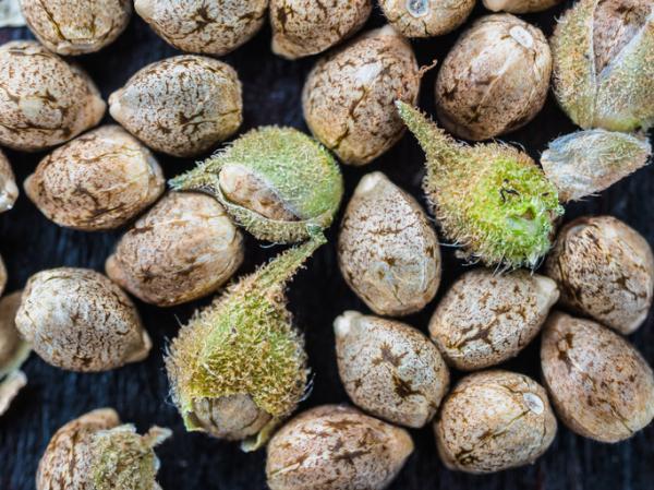 Cuánto tarda en germinar una semilla de marihuana - Cultivo interior o exterior: ¿cuál es mejor opción?
