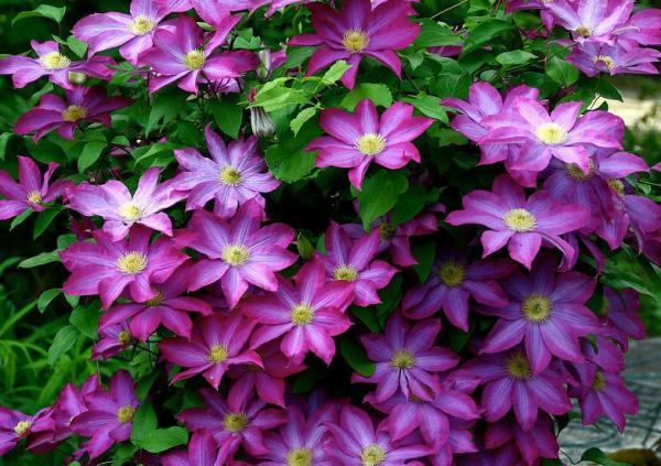 Plantas de exterior fáciles de cuidar - Clematis