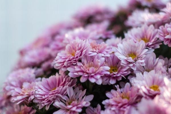 Plantas de exterior fáciles de cuidar - Crisantemo