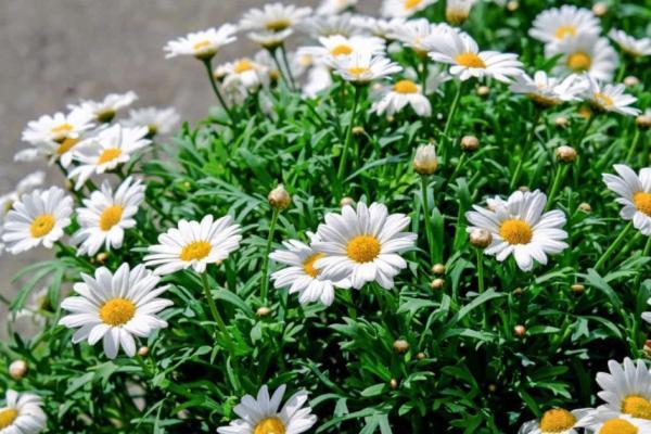 Plantas de exterior fáciles de cuidar - Margarita