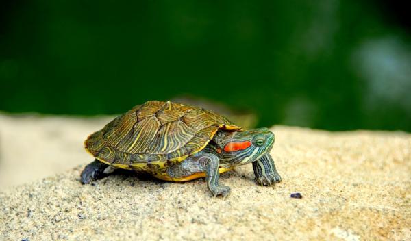 Especies invasoras en España y sus consecuencias - Principales especies animales invasoras en España