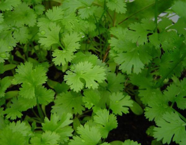 Plantas aromáticas de interior - Cilantro