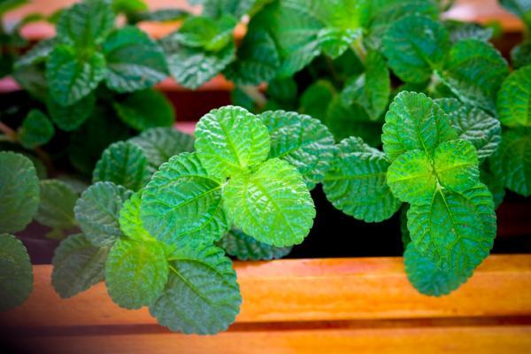 Plantas aromáticas de interior - Menta