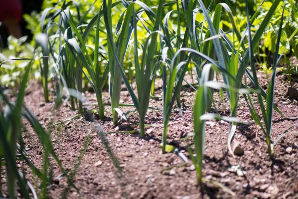 Plantas antimoscas de exterior e interior - Ajo
