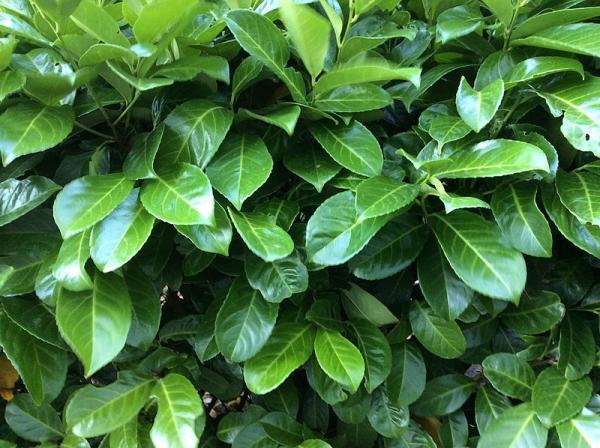 Plantas antimoscas de exterior e interior - Laurel