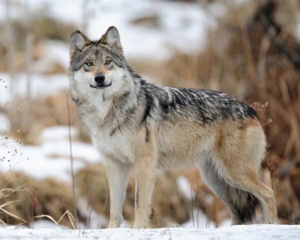 Por qué está en peligro de extinción el lobo gris mexicano