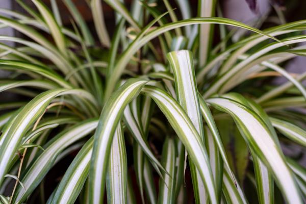 Plantas que absorben el calor - Cinta