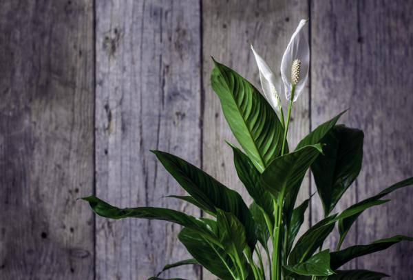Plantas que absorben el calor - Cuna de Moisés