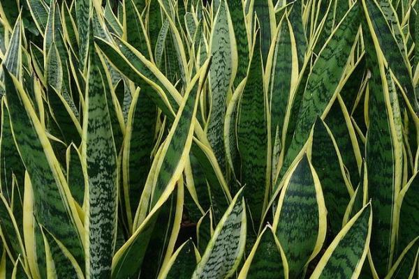 Plantas que absorben el calor - Sansevieria