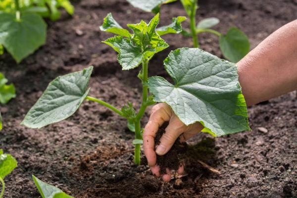 Pepinos: cómo sembrar y cultivar - Cómo cultivar pepinos