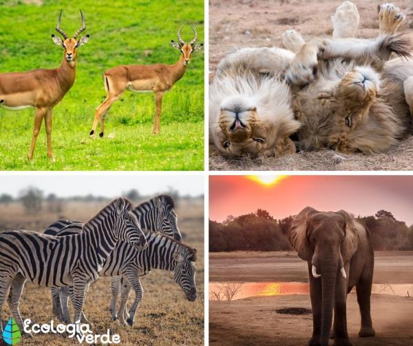 Ecosistema de la sabana: características, flora y fauna - Fauna de la sabana