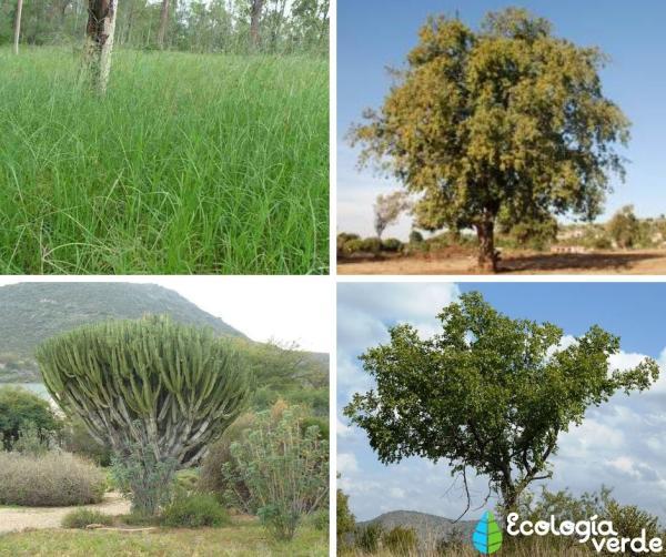 Ecosistema de la sabana: características, flora y fauna - Flora del ecosistema de la sabana